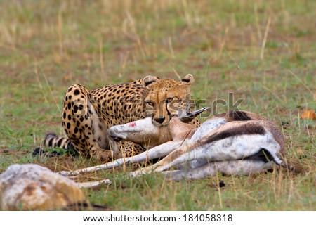 Cheetah female (Acinonyx jubatus) subdues its prey, a big Grant's Gazelle, in the Masai Mara, Kenya, Africa.  - stock photo