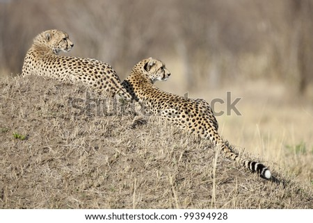 Cheetah female (Acinonyx jubatus) with large cub resting on top of a termite mound in Kenya's Masai Mara - stock photo