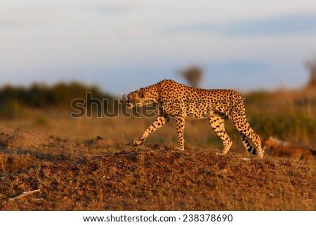 Cheetah female Malaika in at sunrise in Masai Mara, Kenya - stock photo