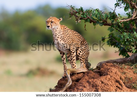 Cheetah female Shingo on a termite hill in Masai Mara, Kenya - stock photo