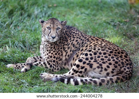 Cheetah Gepard break on green gras
