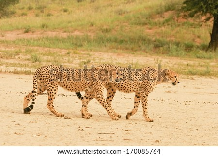 Cheetah, Gepard, South Africa - stock photo
