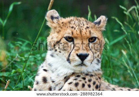cheetah head close up in the grass - stock photo