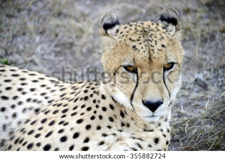 Cheetah, Hluhluwe, South Africa