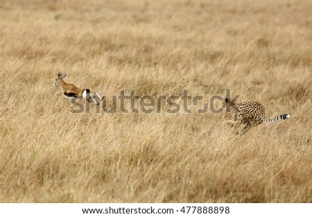 Cheetah hunting a Thomson Gazelle