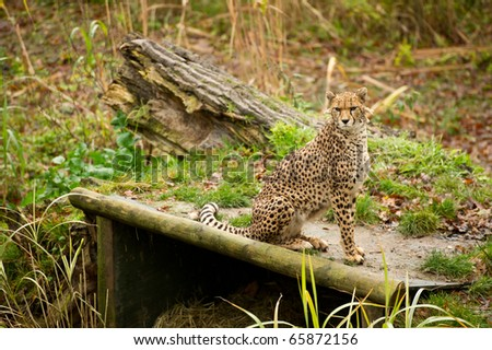 cheetah in controlled conditions with copy space and selective focus