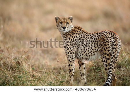 Cheetah in evening light