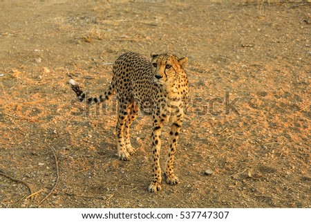 Cheetah in fields of Namibia, in Africa