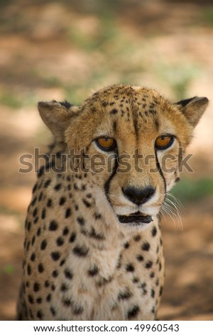cheetah in Harnas Nature Foundation