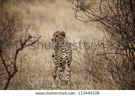 Cheetah in Kenya (Acinonyx Jubatus) - stock photo
