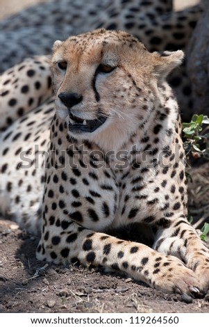 Cheetah in Kenya, Africa