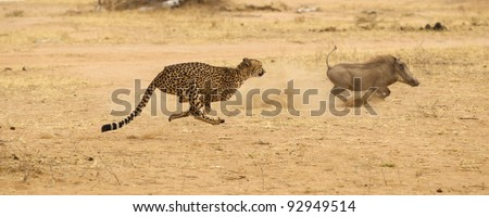 Cheetah in Kruger National Park chasing wart hog at full speed - stock photo