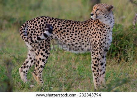 Cheetah in Kruger National Park South Africa - stock photo