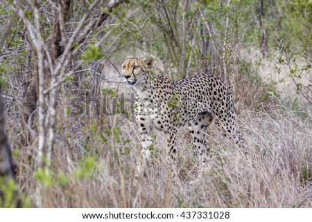 Cheetah in Kruger national park, South Africa ; Specie Acinonyx jubatus family of felidae - stock photo