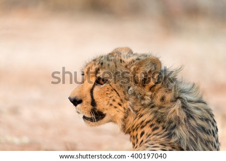 Cheetah in Okonjima Nature Reserve, Namibia. Shallow depth of field with room for text.