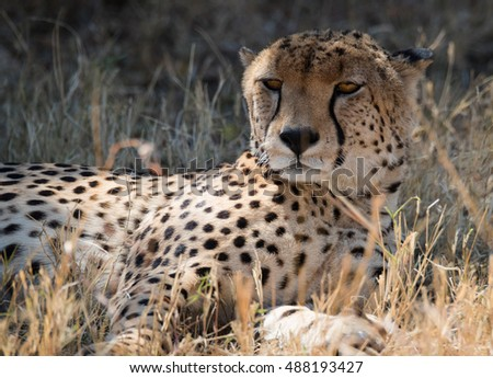 Cheetah in the dry african grass