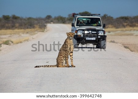 cheetah in the Etosha national park namibia - stock photo