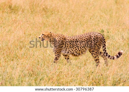cheetah in the field, masai mara, kenya