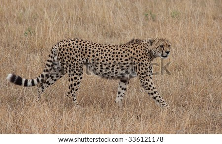Cheetah in the golden grass of the African savanna - stock photo