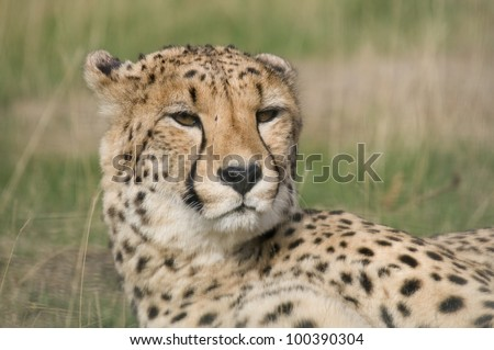 Cheetah In The Grass - stock photo