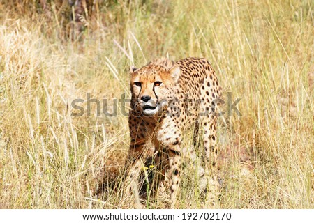 Cheetah in the Wild - Namibia