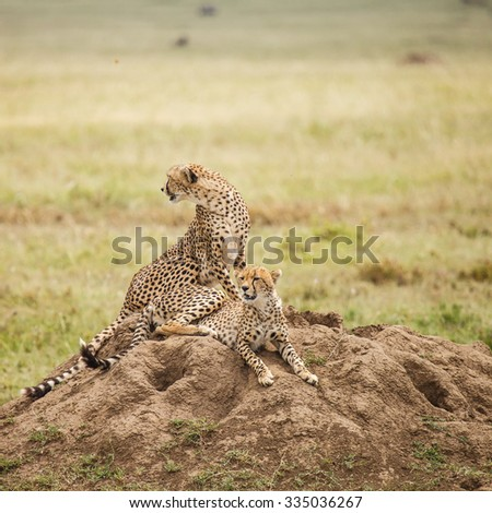Cheetah in wildlife for background