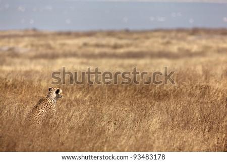 Cheetah into the wild steppe.  Tanzania, Africa. - stock photo