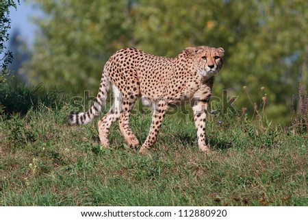 cheetah is coming - stock photo