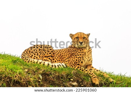 cheetah is laying - stock photo