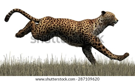 cheetah isolated on white background