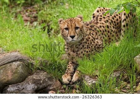 Cheetah laying near water - stock photo