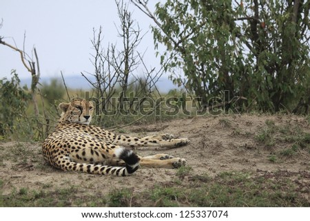 Cheetah laying on a termite mound in The Maasai Mara National Reserve in Kenya, Africa. - stock photo