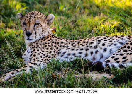 Cheetah(leopard) in the wildness- South Africa, Kruger park - stock photo