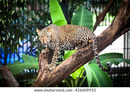 Cheetah (Leopard) lying on the tree