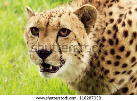 Cheetah looking intense - stock photo