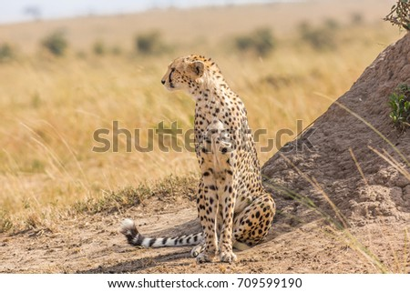 Cheetah looking out for a prey