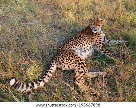 Cheetah lying in the grass and looking into the distance. Majesty and grace. Autumn in the National Lion park. Johannesburg. Gauteng. South Africa - stock photo