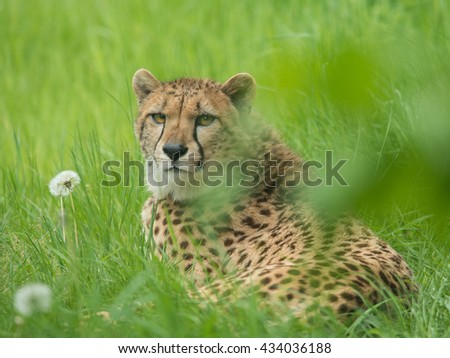 Cheetah lying in the grass looking back facing the camera