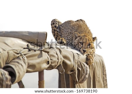 Cheetah lying on the roof of a safari jeep - stock photo
