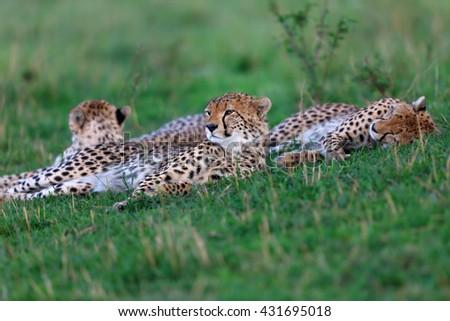 Cheetah Malaika and cubs in Masai Mara, Kenya - stock photo