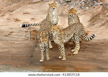 Cheetah Malaika with her three cubs want to cross the river in Masai Mara, Kenya - stock photo