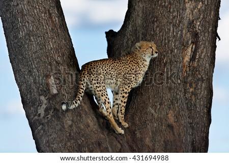 Cheetah Malaikas cub on a tree in Masai Mara, Kenya - stock photo