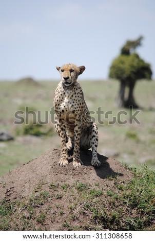 Cheetah, Masai Mara, Kenya - stock photo