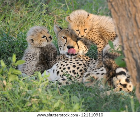 Cheetah mother and cubs at Serengeti National Park in Tanzania - stock photo