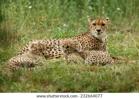 Cheetah mother and cubs portrait. Two seven weeks old Cheetah cubs lying and hugging each other. Gepard Cubs. Cheetah cubs huddled up together. ( Acinonyx jubatus )