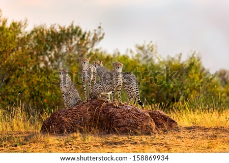 Cheetah mother and three cubs at sunset on a termite hill looking for food in Masai Mara, Kenya - stock photo