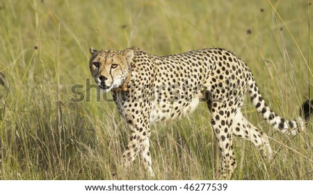 Cheetah mother walks through grassland