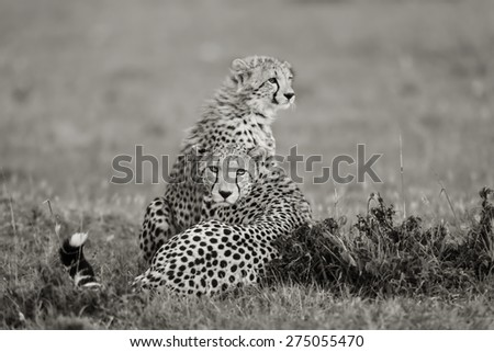Cheetah mother with cub in the background in Masai Mara, Kenya - stock photo