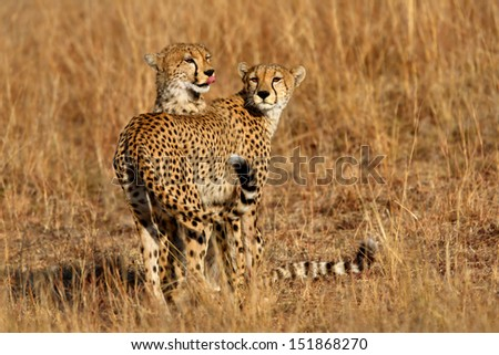 Cheetah mother with her cub in the savannah of the Masai Mara in Kenya - stock photo