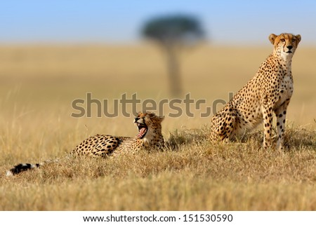 Cheetah Narasha and her yawning son in Masai Mara, Kenya - stock photo